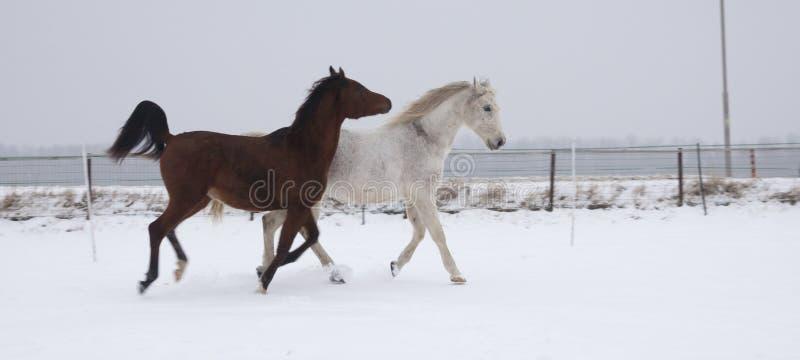 Download Konie w śniegu obraz stock. Obraz złożonej z uzda, zima - 28961009