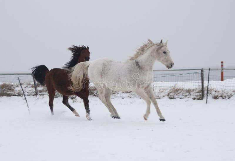 Download Konie w śniegu zdjęcie stock. Obraz złożonej z shetland - 28961062