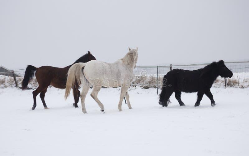 Download Konie w śniegu zdjęcie stock. Obraz złożonej z przyroda - 28961156