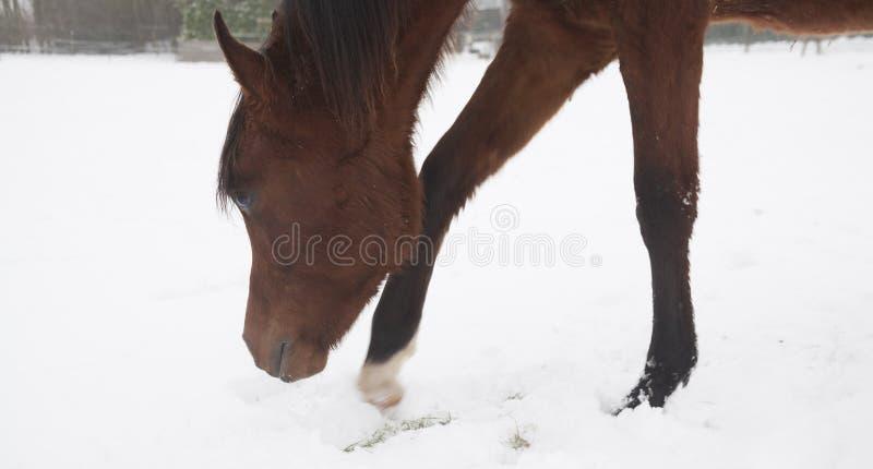 Download Konie w śniegu zdjęcie stock. Obraz złożonej z shetland - 28961236