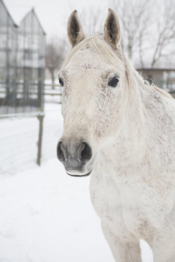 Download Konie w śniegu obraz stock. Obraz złożonej z futerko - 28961575
