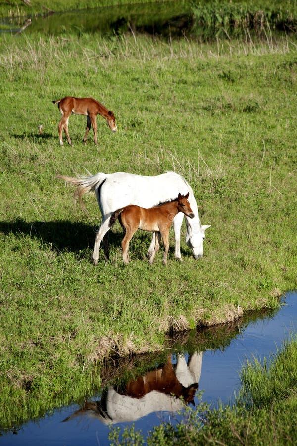 Konie w paśniku zdjęcia stock