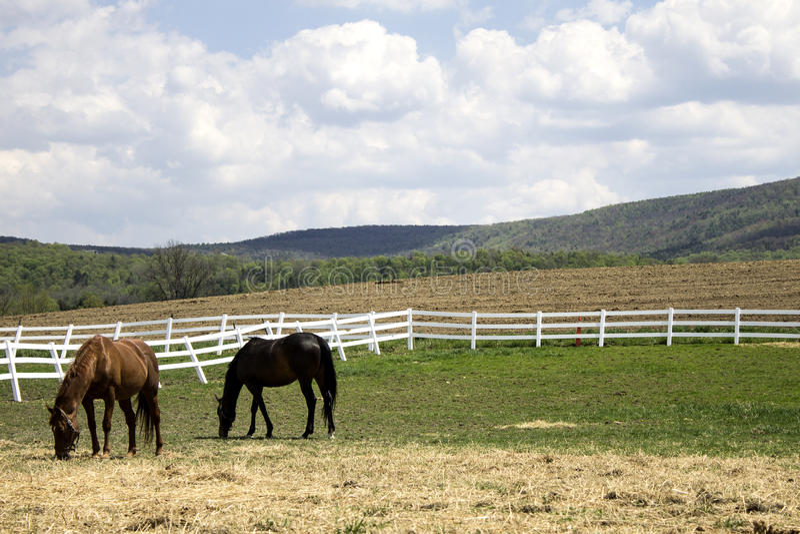 Konie w polu obrazy stock