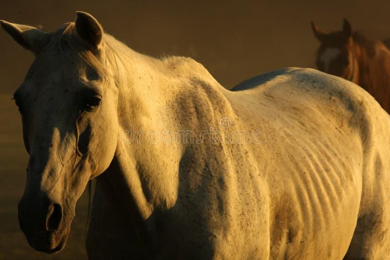 Konie w pyle zdjęcie royalty free