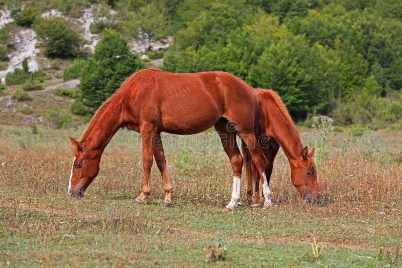 konie wypasają dzikiego zdjęcie royalty free