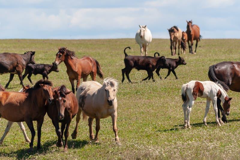 Konie z źrebiętami, krowy z łydkami pasają na lato łące fotografia stock
