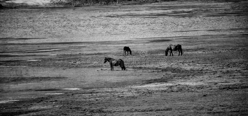 Konie zbliżają jezioro zdjęcia royalty free