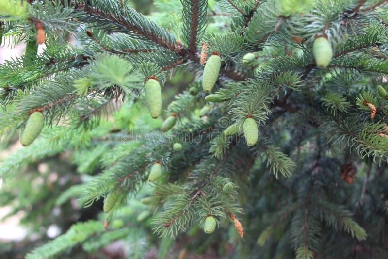 Koniferenbäume stockfoto