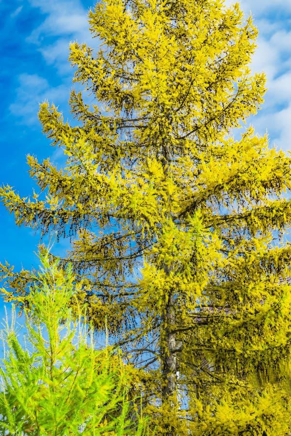 Koniferenbaum-Lärchengelbnadeln gegen den blauen Himmel stockfotos