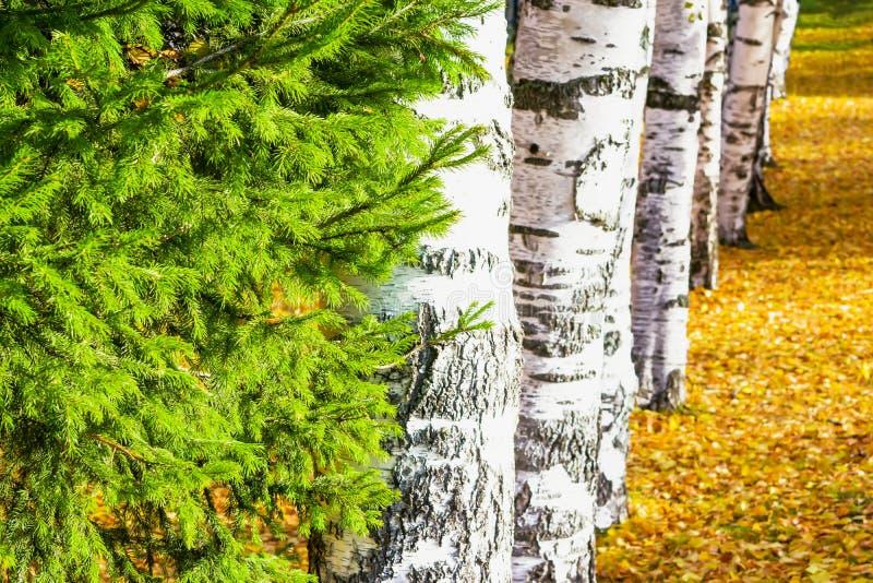 Koniferenbaum, Tannenbaum auf einem Hintergrund von Suppengrün lizenzfreies stockfoto