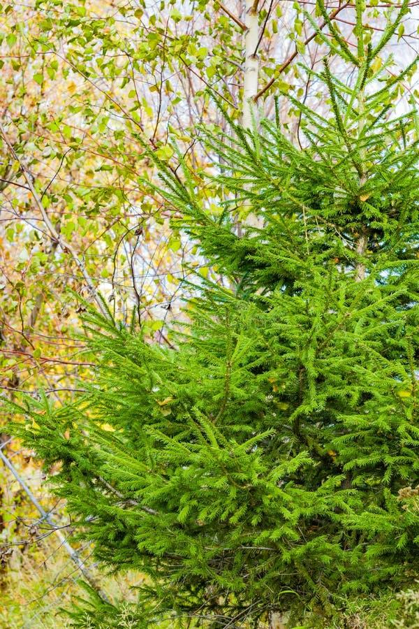 Koniferenbaum, Tannenbaum auf einem Hintergrund von Suppengrün stockfoto