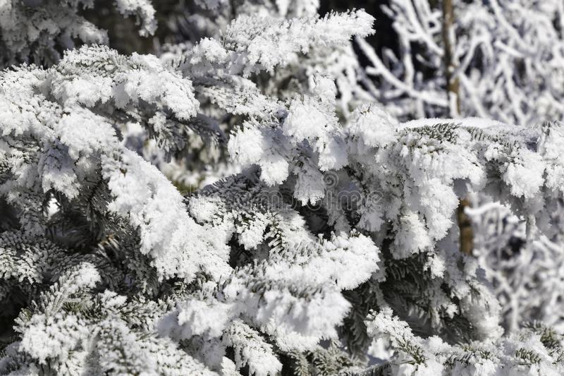 Koniferenniederlassungen im Schnee stockbild