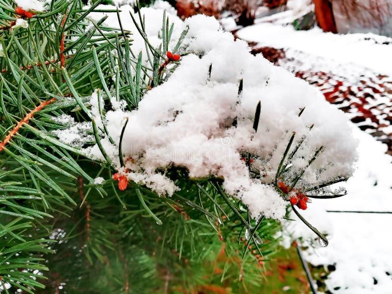 Koniferentatze im Schnee lizenzfreie stockbilder