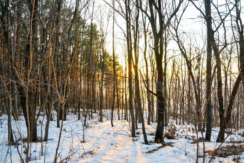 Koniferenwald belichtet durch die Glättungssonne an einem Frühlingstag Sonnenuntergang stockbilder
