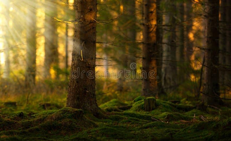 Koniferenwald an einem Sommermorgen stockbild