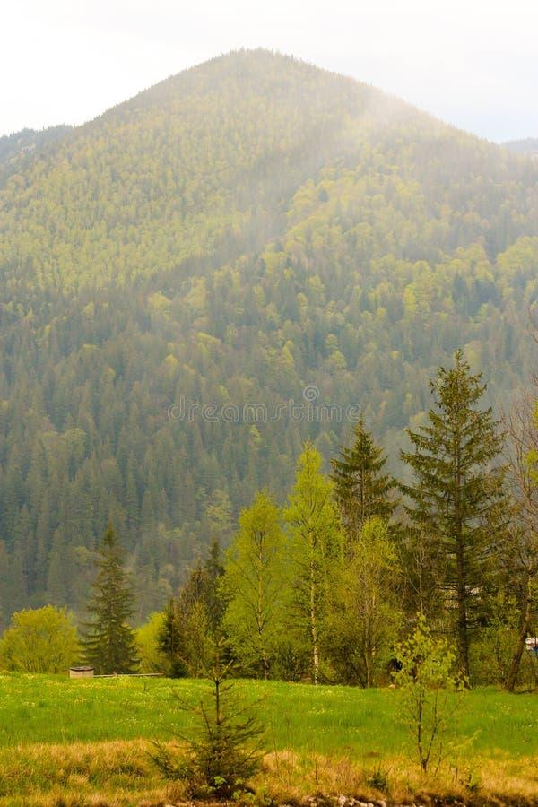 Koniferenwald ist Grün, die hohen Bäume und Berge stockfotografie