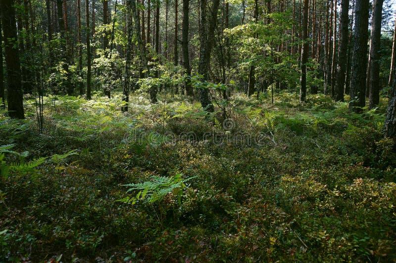 Koniferenwald nahe Shatsk stockfotos