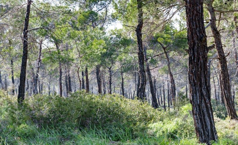 Koniferenwald in Zypern Sch?ner nat?rlicher Hintergrund stockbilder