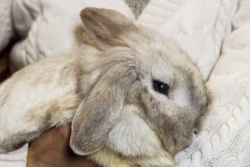 Konijn Een meisje in een witte gebreide sweater houdt een grijs konijn A royalty-vrije stock foto's