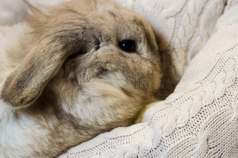 Konijn Een meisje in een witte gebreide sweater houdt een grijs konijn A stock afbeeldingen