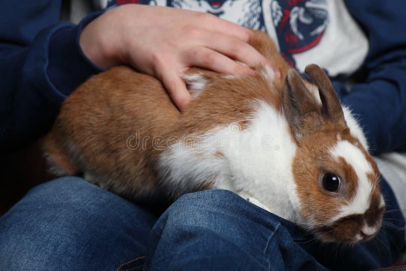 Konijnzitting op de handen van een kind zorg voor de dieren, het baby petting Konijntje royalty-vrije stock foto's