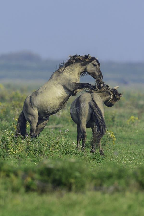 Koników konie przy Oostvaarderplassen obraz royalty free