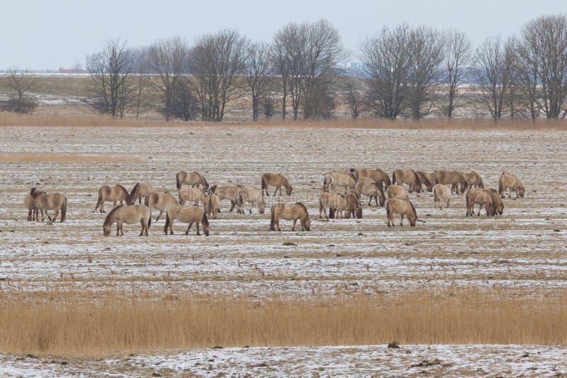 konik лошадей группы стоковая фотография rf