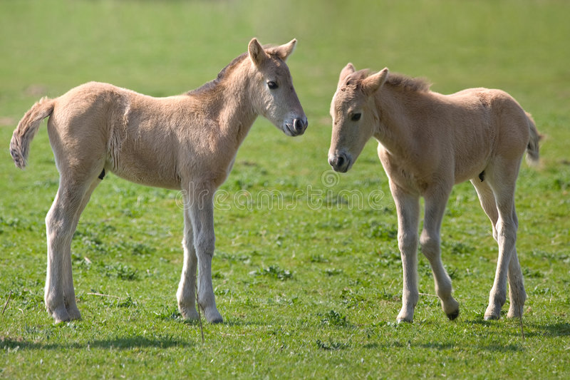 konik лошадей стоковое фото