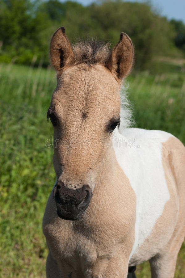 Konik foal stock photo