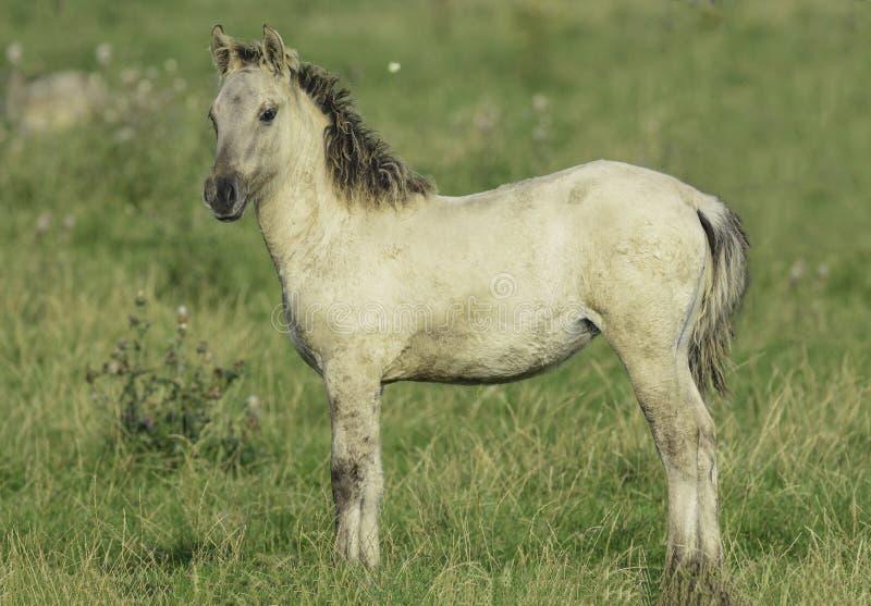 Konik horse fowl in the wild. A little konik horse in the wild stock photos
