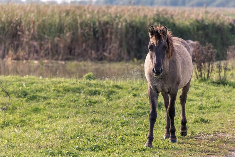A konik horse in Oostvaardersplassen in the Netherlands stock photography