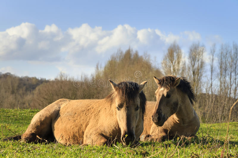 Konik horses afternoon. Konik horses (Equus ferus caballus) in national park de Blauwe Kamer in Wageningen, the Netherlands royalty free stock images