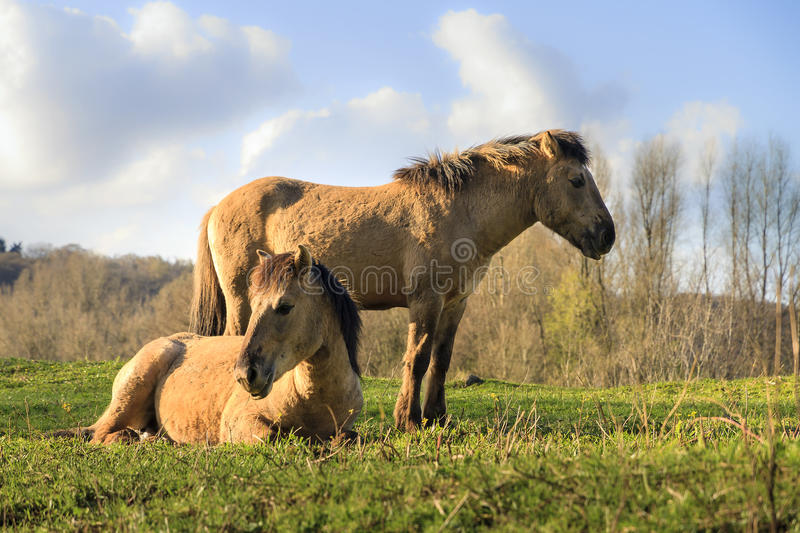 Konik horses couple. Konik horses (Equus ferus caballus) in national park de Blauwe Kamer in Wageningen, the Netherlands royalty free stock photos