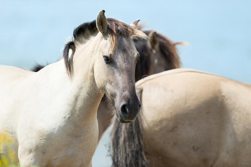 Konik horses. Flock Polish Konik horses against blue sky stock photos