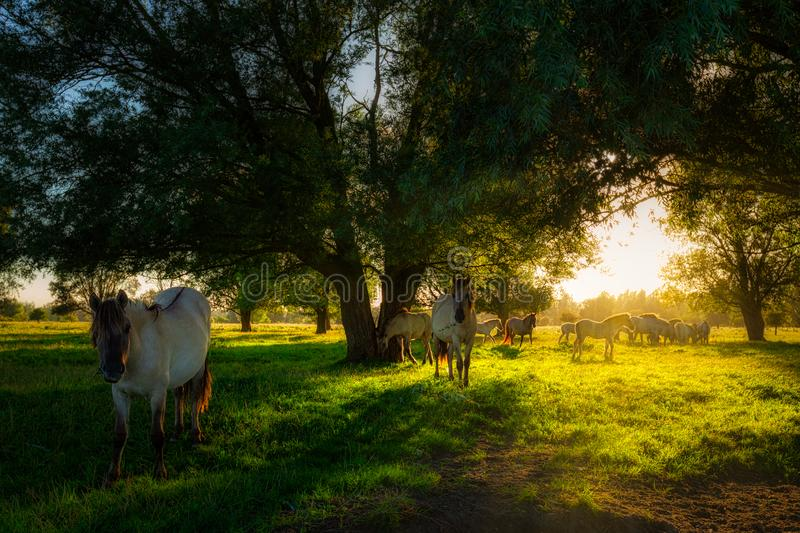 Konik horses grazing in nature in summer with bright evening sunlight on a green pasture with trees royalty free stock image