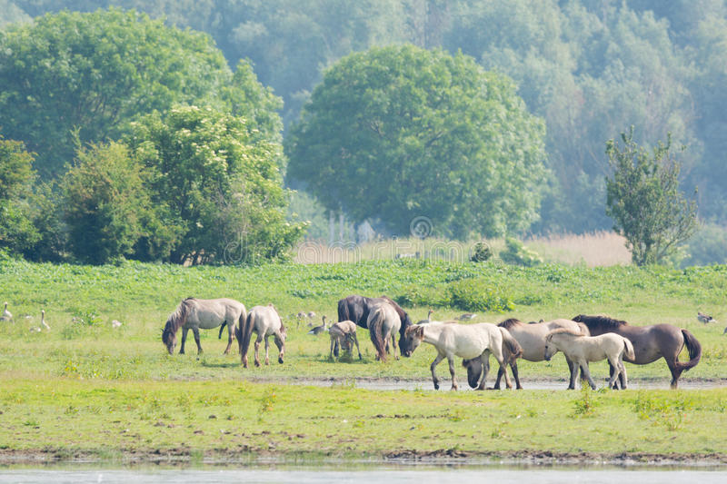 Konik horses. In nature landscape in Holland stock photo
