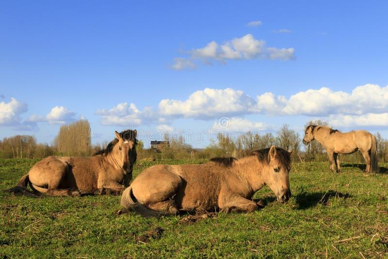 Konik horses Wageningen. Konik horses (Equus ferus caballus) in national park de Blauwe Kamer in Wageningen, the Netherlands royalty free stock photos