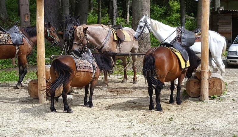 Konik i konie na zabawnym przyciąganiu w parku Borovets w Bułgaria obrazy royalty free