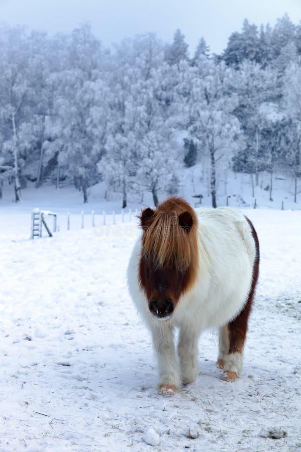 Konik na uroczym zima dniu obrazy royalty free
