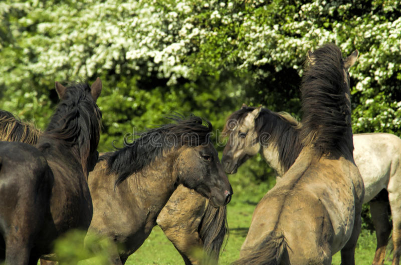 Konik-Pferd lizenzfreies stockfoto
