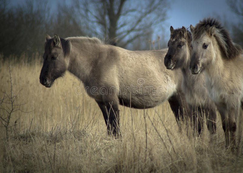 Konik-Pferde stockfotografie
