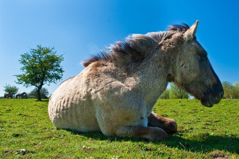 Konik Pferdenlügen stockfotografie