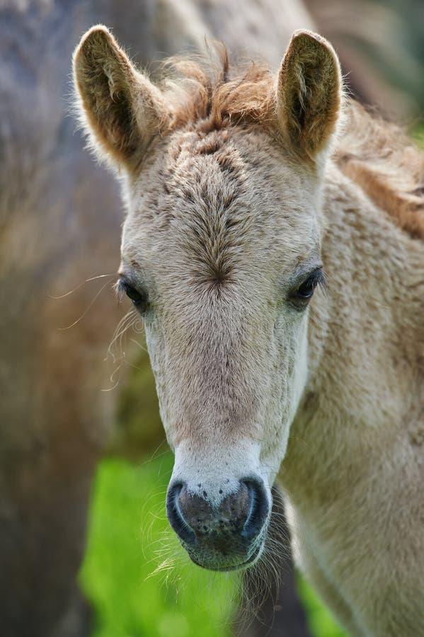 Konik polski foal. Cream konik polski cute foal stock photo