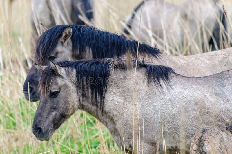 Konik Ponies in the Oostvaardersplassen. royalty free stock photo