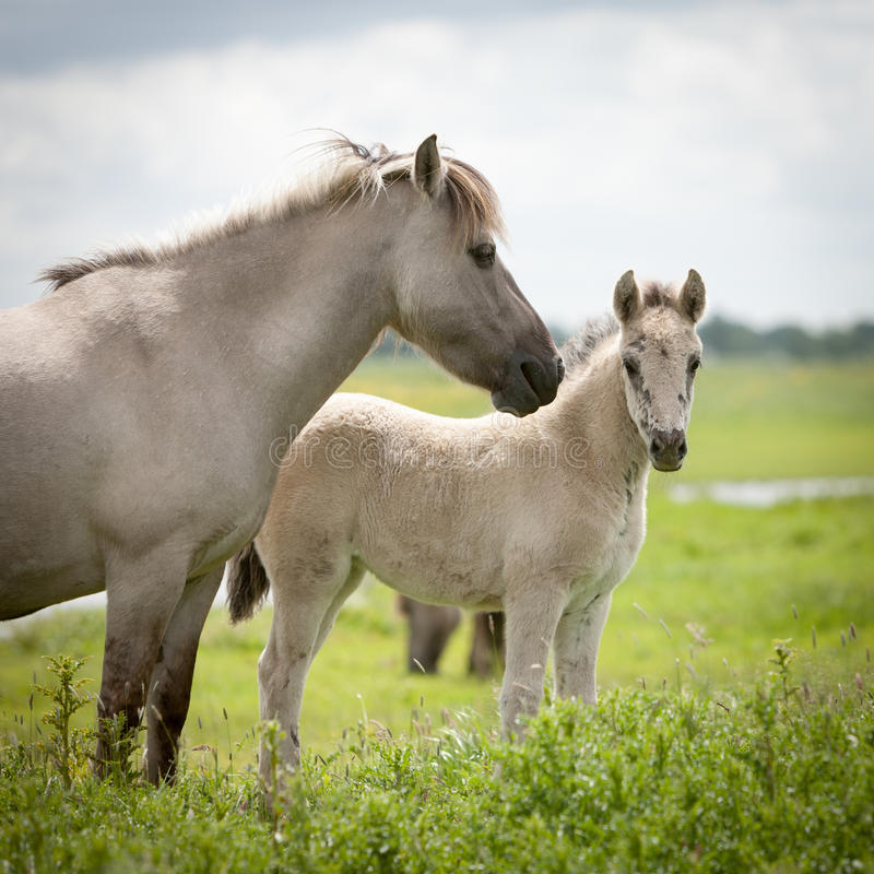 Konik wild horses. Free-ranging Konik horses in their open environment at Oostvaardersplassen, Holland royalty free stock image