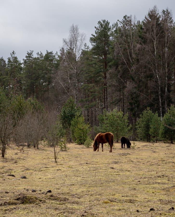 Konik z koniami przy sosnowym lasem obraz royalty free