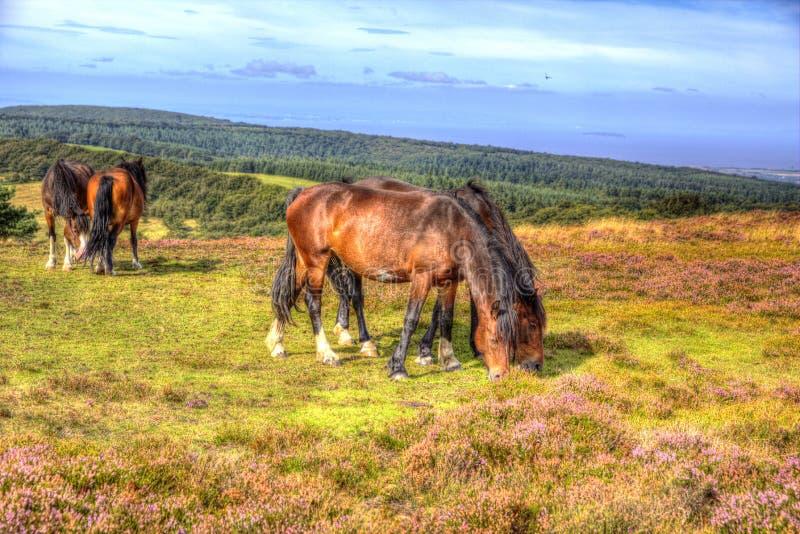 Koniki na Quantock wzgórzach Somerset Anglia z purpurowym wrzosem obraz royalty free
