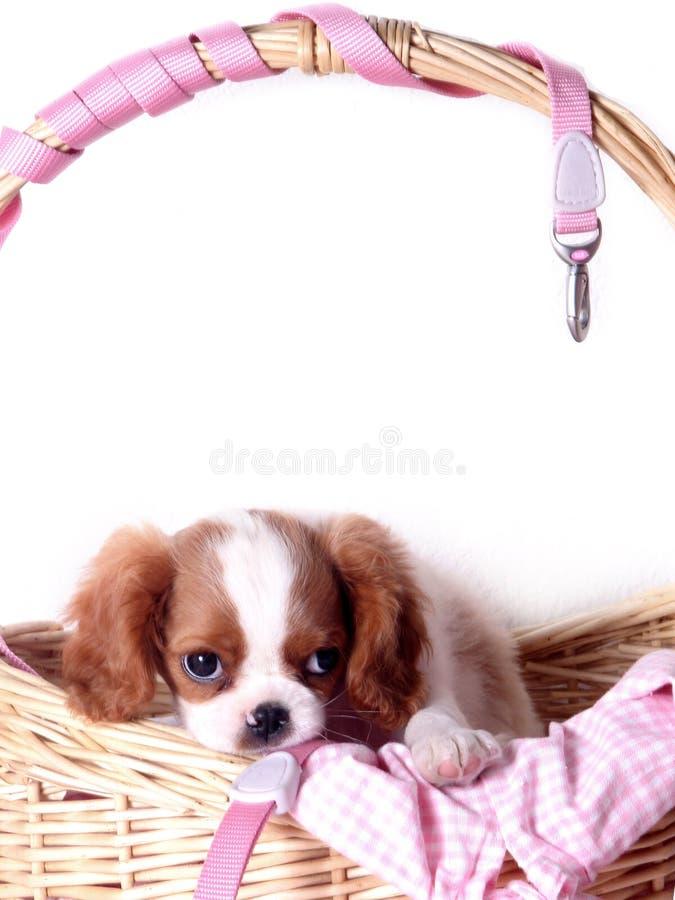 Koning Charles Spaniel Puppy stock foto