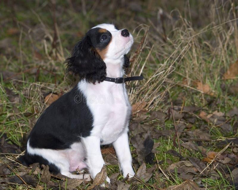Koning Charles Spaniel Puppy Stock Foto's