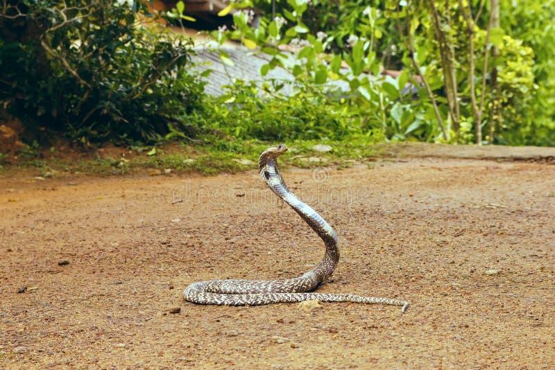 Koning Cobra Ophiophagus Hannah royalty-vrije stock foto's